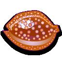 cypraea cervus coquillages