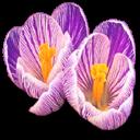 bouquet crocus