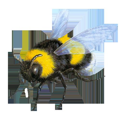 abeille 37